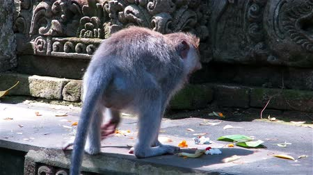 macaca fascicularis : Monkey picking and eating offerings in front of temple in Sacred monkey forest