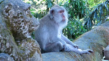 macaca fascicularis : Monkey sitting next to monkey statue and looking around