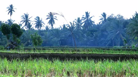 kultúra : Beautiful video of green rice fields with palm trees in the background Stock mozgókép