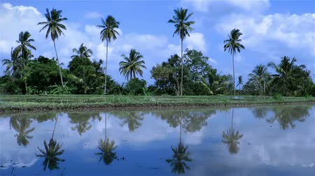 yansıma : Rice fields and crops with water and reflection of palm trees in them