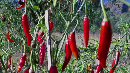 перец чили : Close up video of red chilli peppers plantation
