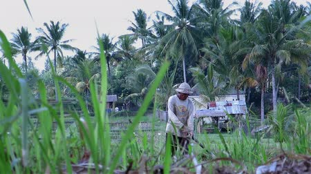 indonesia : BALI, INDONESIA - JULY 2014: Old man working on rice field in Bali, Indonesia. Behind the grass shot of very dark tanned skin person on field working on a windy day.