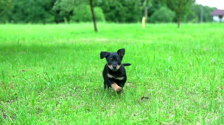 corrida : Lovely dark puppy running towards camera. Cute puppy is in green nature and is running towards camera very fast