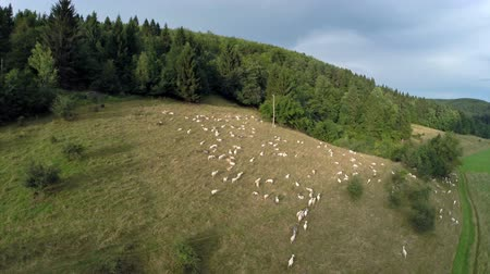 pecuária : Sheep graze in nature. Aerial fly over shoot of sheep graze in nature green grass field near forest Vídeos