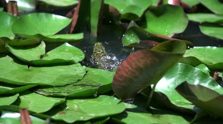 pedleri : Frog on the water lily leaf. Slow motion shoot of a frog on the water lily green leaf in nature on a small lake