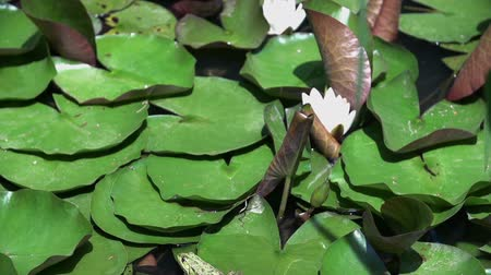 bullfrog : Water lily with dragonfly and frog. Slow motion shoot of water lily with dragonfly and frog on the leaf Stock Footage