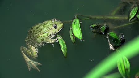 pedleri : Frog swimming in a muddy lake. Frog swimming in a muddy lake with plants and other animals