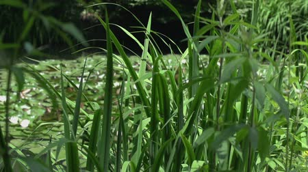 bullfrog : Plants near the lake. Slow motion jib shoot of a green lake plants and water lily at the back of the lake Stock Footage