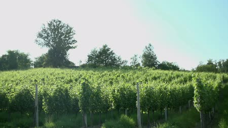 Бордо : Vineyard rows in countryside. Slow motion shoot of passing by the vineyard rows in a countryside of Slovenia