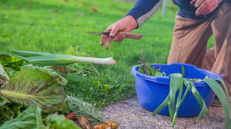 plodina : Reviewing just picked leeks in a blue basket. Slow motion close-up shoot of a man reviewing the organic leeks just picked and collect in the blue basked from home garden. Dostupné videozáznamy