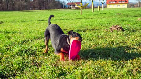 playing with a dog : Black dog playing with frisbee on a filed in the middle of a countryside on a sunny day,footage in slow motion.