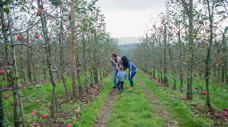 dożynki : Man picks an apples from a tree in an orchard on a countryside on a nice day, footage is in slow motion.