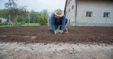 bahçıvan : A senior man is gently taking a lettuce seedling out of the soil and then he is inserting it back into it. He is also showing it to the camera. Wide-angle shot.