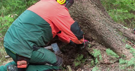 keser : A young forestman is using an axe to cut down a tree. First, he needs to clean around the trees roots a bit and then he will start cutting down a spruce with a chainsaw.