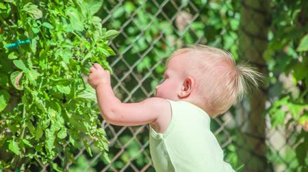 descobrir : Lovely little girl trying to pick a small green tomato several times and finally picks it and she is amazed at it.