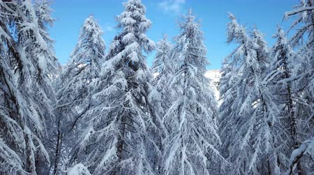 шале : There are beautiful white spruces in the landscape somewhere in the Swiss Alps. The sky is blue and clear.