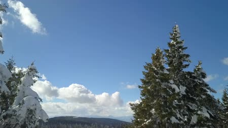 śnieżka : There is snow on branches of the spruce trees. The sky is beautiful and blue.