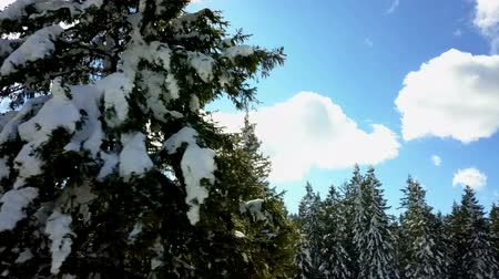 ladin : The sky is beautifully blue and there is snow on spruce tree branches. Its winter time. Stok Video