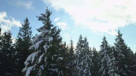 épico : Beautiful spruce trees are covered with snow. Its a nice day.