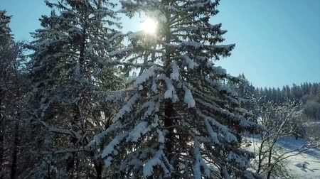 еще : The sun is shining through the branches of a snowy spruce tree. Its a nice yet cold winter day at this resort. Стоковые видеозаписи