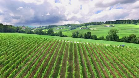 winogrona : Green countryside in the middle of Slovenia. Beautiful vineyards. The day is sunny and gorgeous.