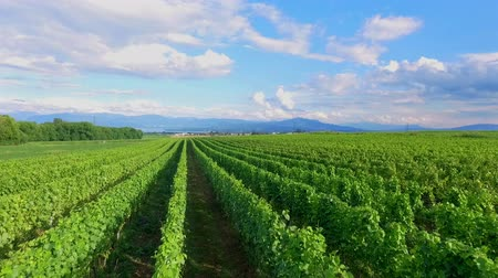 dem : A beautiful summer day and a gorgeous green vineyard. The countryside in Slovenia is outstanding. Stock Footage