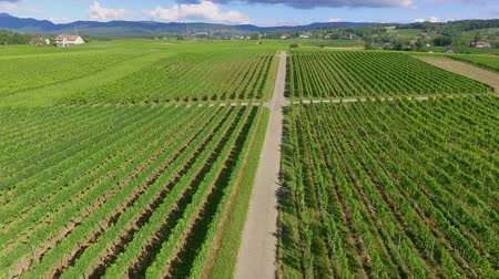 dem : A narrow country road in the middle of vineyards. Aerial shot. Its summer time and the countryside looks magnificent and green.