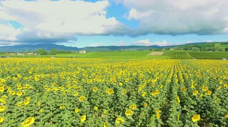 A field with sunflowers in the middle of the countryside. The day is sunny and beautiful. Stock Footage
