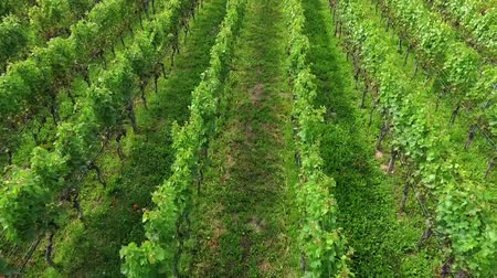 dem : A beautiful and green vineyard in the countyrside. The day is wonderful and sunny. Its summer time. Stock Footage