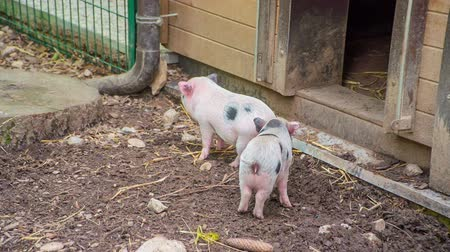 paw : Two cute piglets are standing in front of the entrance to a barn. A very cute scenery.