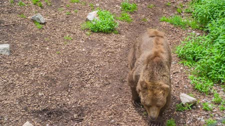 A brown bear is walking very slowly on a path in its cage in a zoo. Its a nice day in Ljubljana, Slovenia.