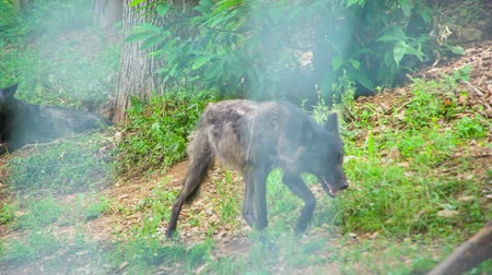 slovinsko : Two black wolves in a cage in the zoo in Ljubljana. They look dangerous.