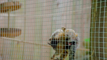 ljubljana : A small monkey is climbing on a net in its cage and visitors are observing it. Stock Footage