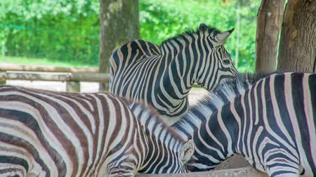 ヘビ : Zebras are eating from a through in a zoo and visitors are watching them. They look lovely.