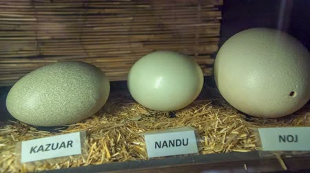 еще : Eggs of different sizes and the animals havent been hatched yet. The names of the animals are displayed in front of eggs. Стоковые видеозаписи
