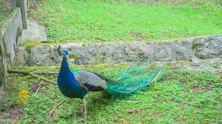 paw : A beautiful blue peacock is standing on a grass in a zoo and visitors are watching it.