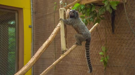 paw : A small monkey is sitting on a branch and is hugging another branch in its cage in the zoo. Wideo