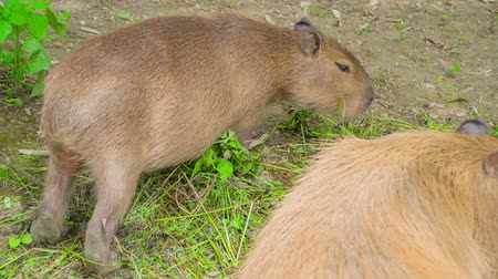 paw : Two marmots are eating grass in the middle of their cage in a zoo.