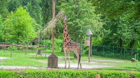 ljubljana : A giraffe is standing next to a wooden pole and is eating grass from it. She lives in a beautiful and green environment in a zoo in Ljubljana.