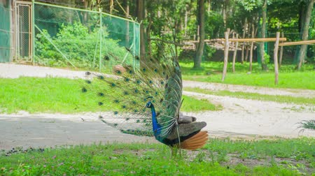 paw : Long display feathers on a peacock. He is walking around very proudly and its feathers are called a train. Wideo
