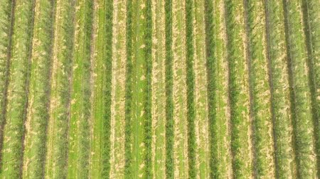 A heli shot of an apple orchard. A beautiful summer time. Apple orchard is protected with a special net from hail.