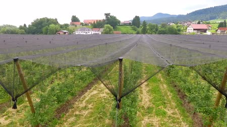 slovenya : A net is protecting the fruits from hail in the summer. Apple orchard somewhere in Slovenia.
