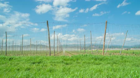 hops : Hops growing in the valley. Its a sunny summer day in Zalec, Slovenia.