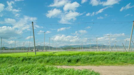Huge open space for hops growing. Its a summer day in Zalec, Slovenia. Stock Footage