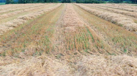 országok : We can see wheat on the field after harvesting. Aerial shot. Its summer time. Stock mozgókép