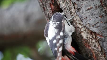 picidae : Great spotted woodpecker at nest Stock Footage