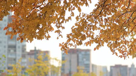 osika : City landscape - trees with golden leaves against the backdrop of a big city. Autumn forest - yellow aspen leaves in the rays of the setting sun. Dostupné videozáznamy