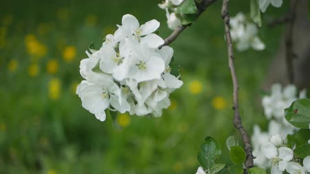 vegetativo : Apple blossoms, sunny day. Spring mood. Flowering tree in a park in spring. Stock Footage