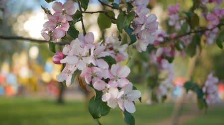 vegetativo : Spring, a sunny day, a flourishing garden. White-pink flowers on an apple tree at the time of flowering. Spring mood.