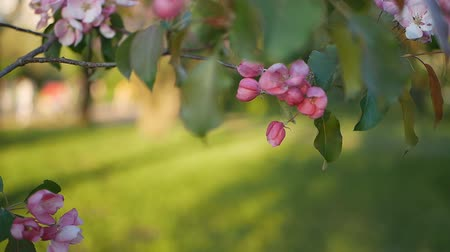 colore : Blossoming apple tree with bright pink flowers on a background of green grass.
